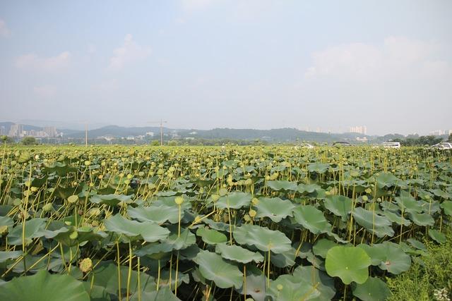 Lotus field lotus fruit lotus, nature landscapes.