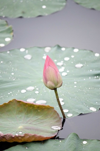 Lotus flower bud, nature landscapes.