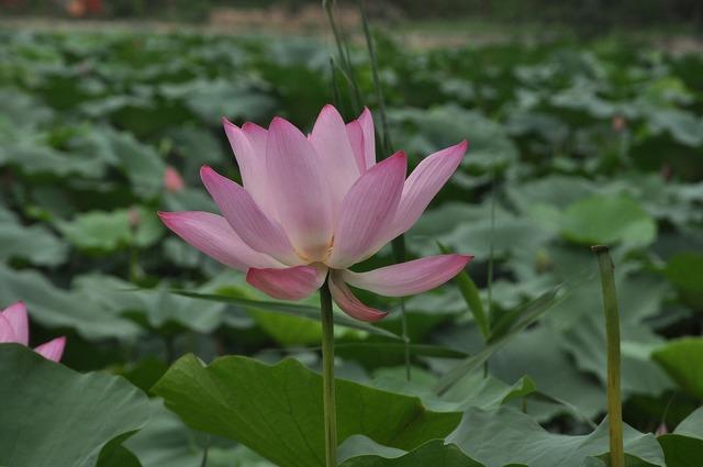 Lotus flower plant, nature landscapes.
