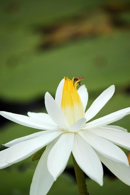 Lotus flower white.