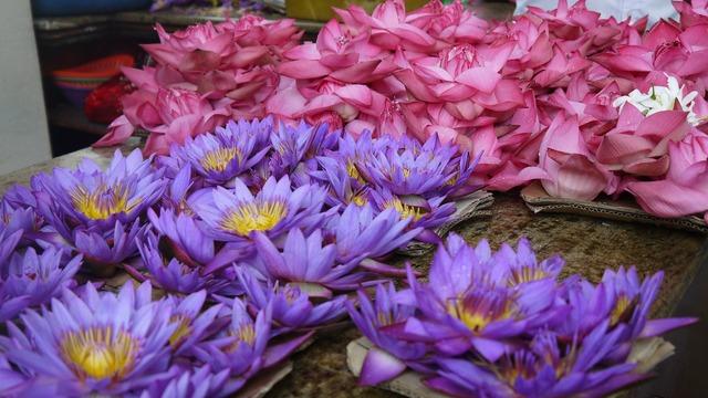 Lotus flowers plant, nature landscapes.