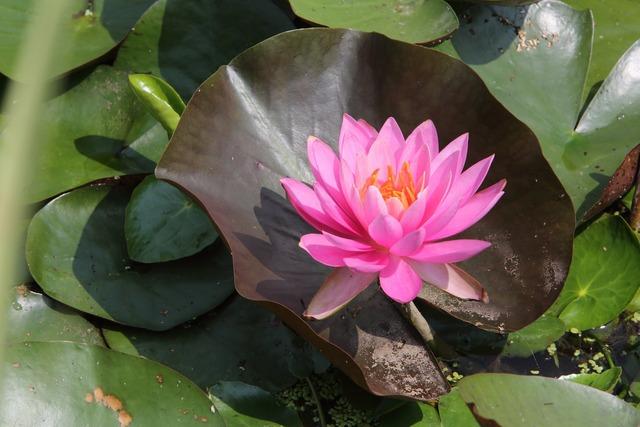 Lotus flowers summer.
