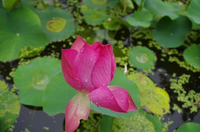 Lotus jinan daming lake.