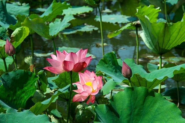 Lotus leaf lotus summer.