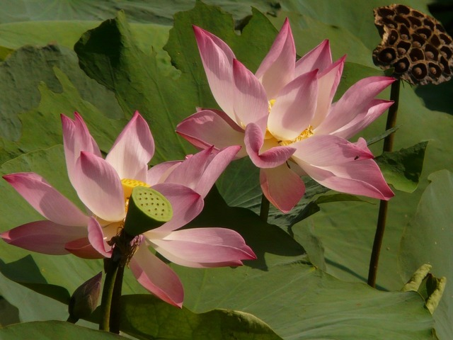 Lotus lotus blossom blossom.