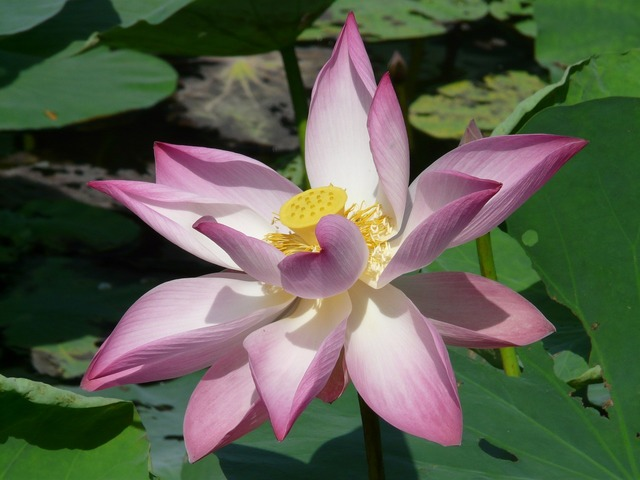 Lotus lotus blossom blossom, nature landscapes.