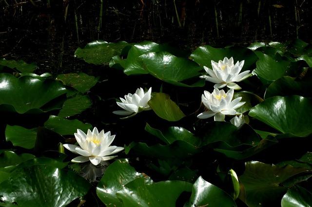 Lotus lotus blossom water lily.