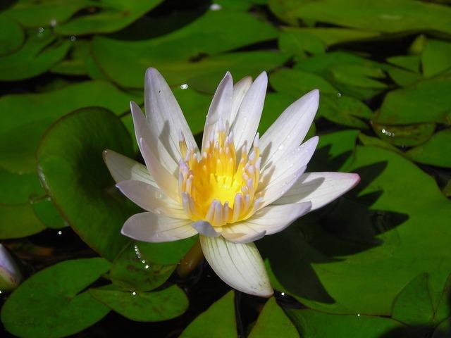 Lotus nymphaea alba aquatic plants.