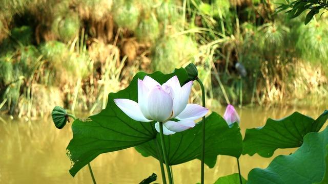 Lotus park plant, nature landscapes.