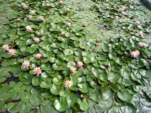 Lotus plant flowers, nature landscapes.
