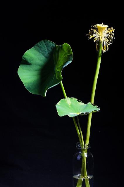 Lotus plant potted plants, nature landscapes.