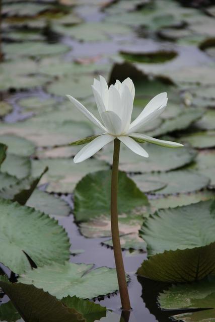 Lotus pond plant, nature landscapes.