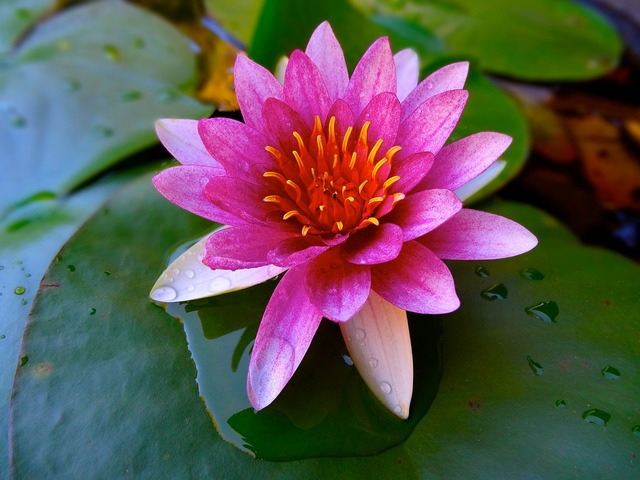 Lotus pond water lily, nature landscapes.