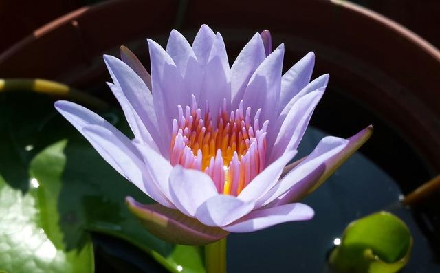 Lotus purple plant, nature landscapes.