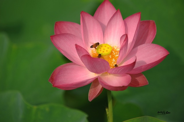 Lotus summer insects.