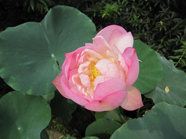 Lotus summer lotus leaf.