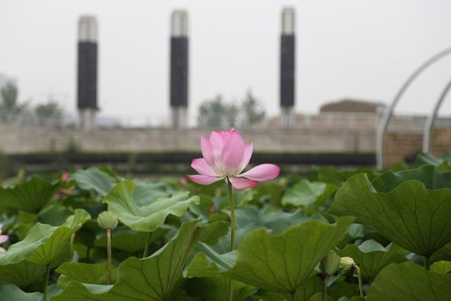 Lotus summer park.