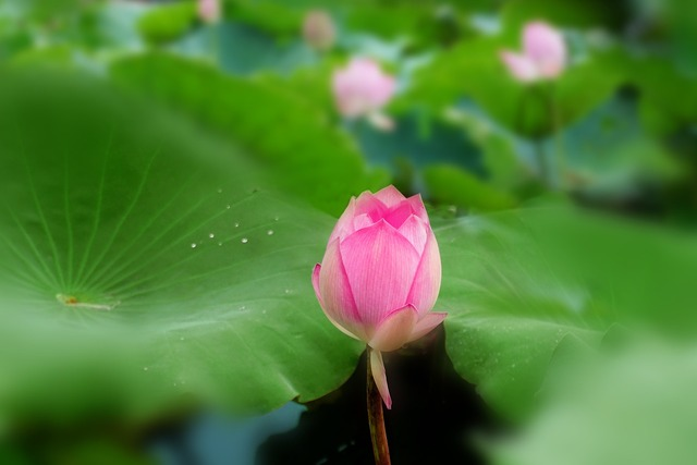 Lotus summer plant, nature landscapes.