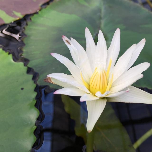 Lotus torus flowers, nature landscapes.