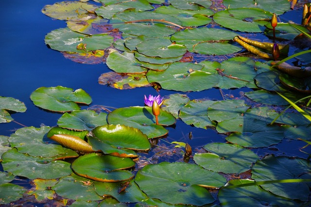 Lotus water lily plant, nature landscapes.