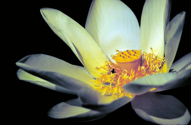 Lotus white yellow, nature landscapes.