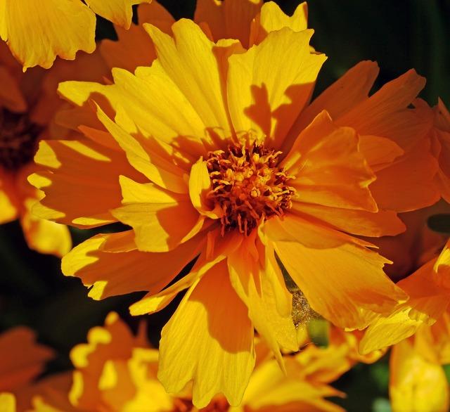 Low girl eye summer flower shrub.