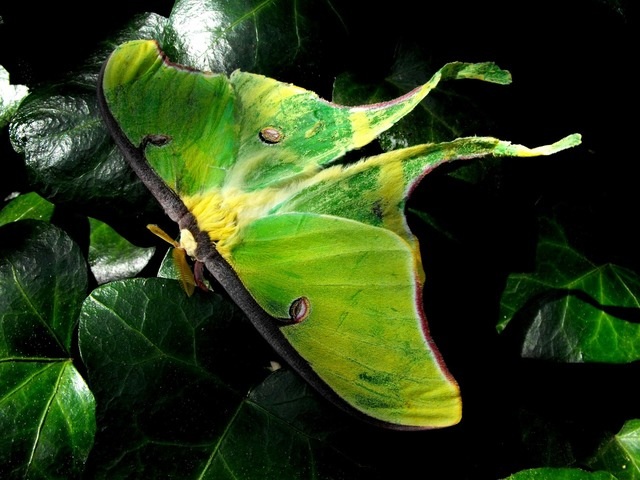 Luna moth summer, animals.