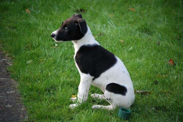 Lurcher puppy canine, animals.