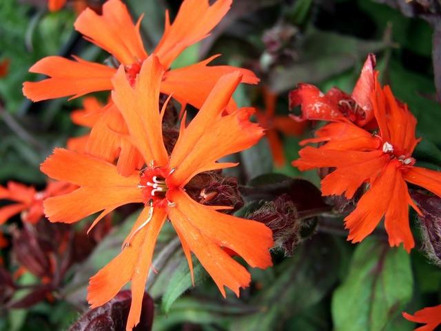 Lychnis flower perennial, nature landscapes.