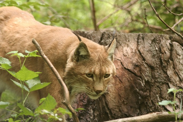 Lynx lynx lynx cat, animals.