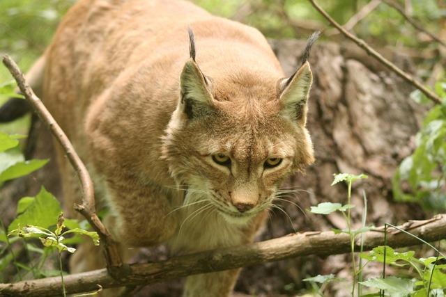 Lynx lynx lynx eurasischer lynx, animals.