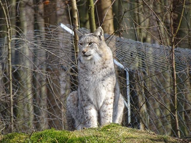 Lynx wild animal wildcat.