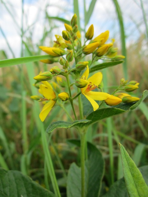 Lysimachia vulgaris garden loosestrife yellow loosestrife, nature landscapes.