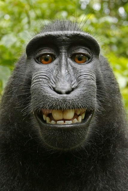 Macaca nigra selfie self-portrait, animals.