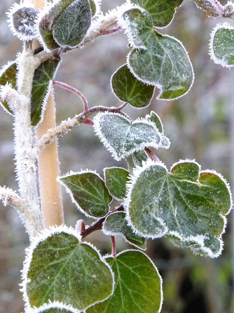 Macro frost ivy, nature landscapes.