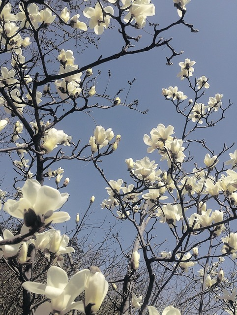Magnolia flower natural the scenery, nature landscapes.