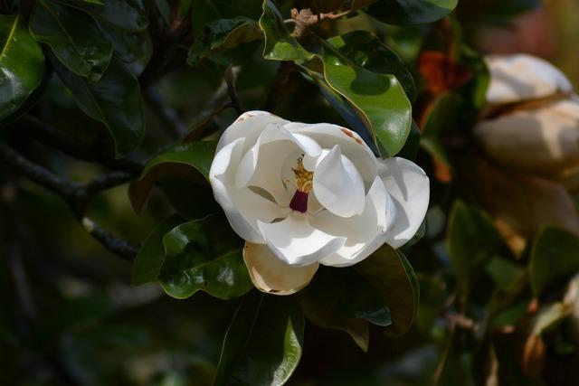 Magnolia grandiflora southern magnolia white flower.