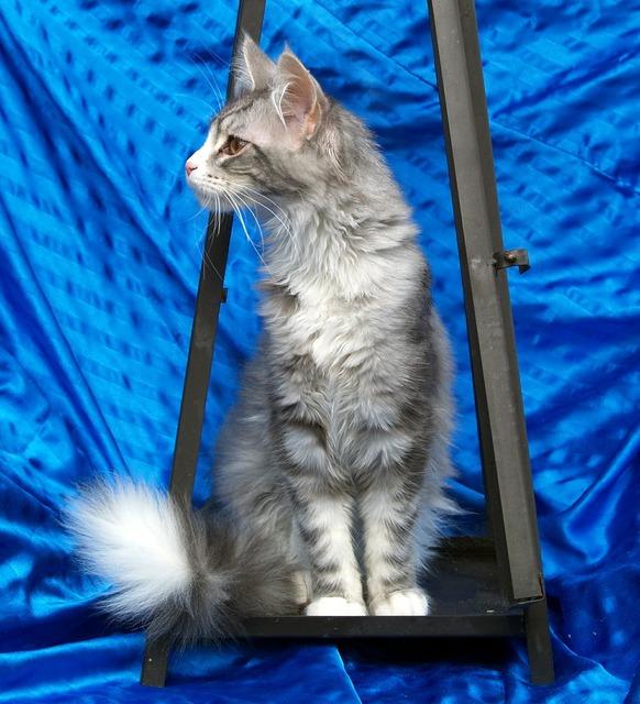 Maine coon cat cat grey, animals.