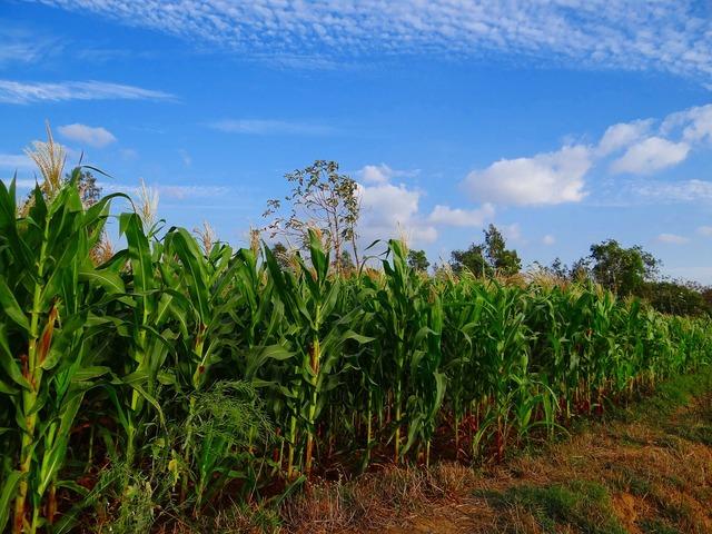 Maize crop corn.