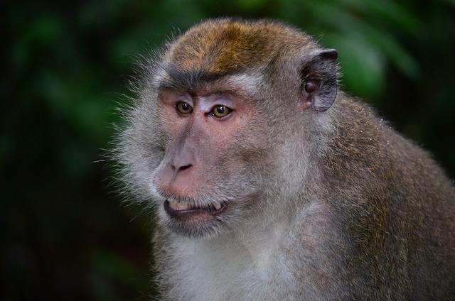 Makake macaque monkey.