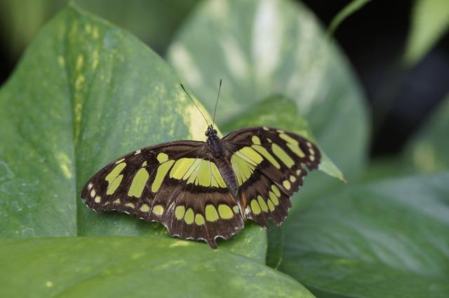 Malachite butterfly wing spread.