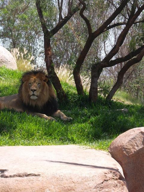 Male lion leo panthera leo.