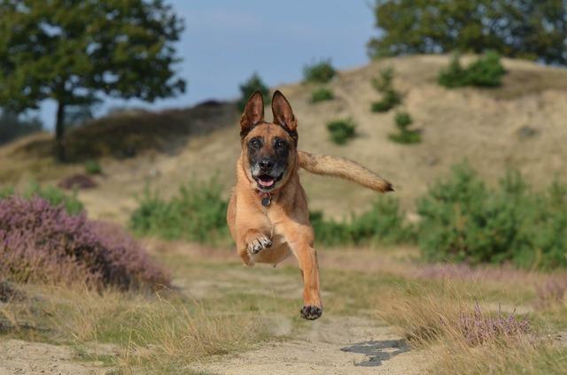 Malinois jump powerful.