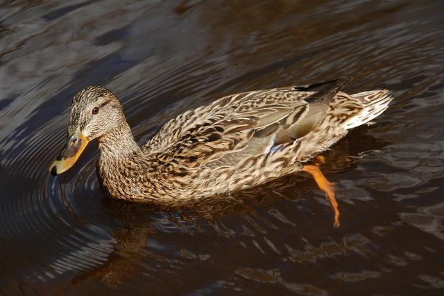 Mallard duck female, animals.