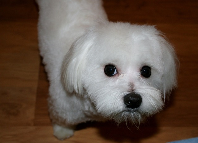 Maltese white dog, animals.