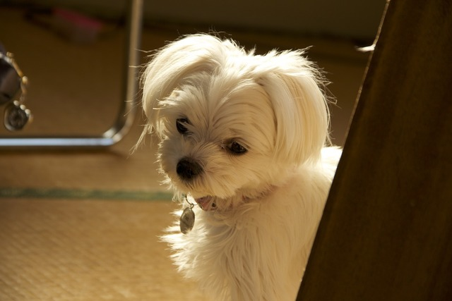 Malties dog pet, animals.