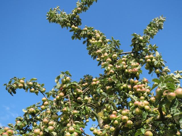 Malus domestica apple tree fruit, food drink.