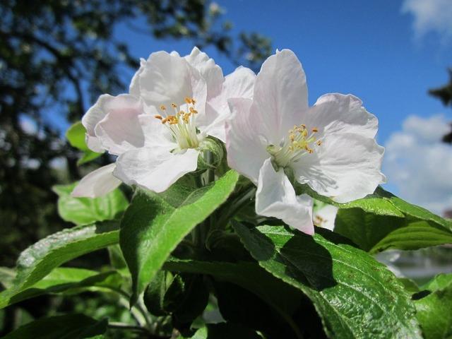 Malus domestica apple tree fruit tree, nature landscapes.