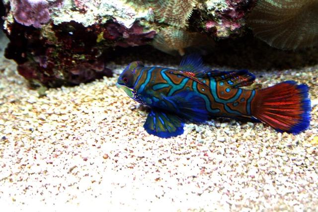 Mandarinfish tropical tank.