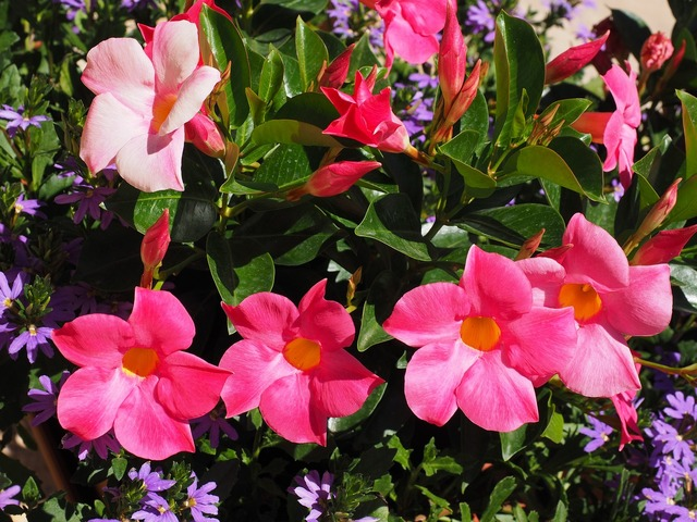 Mandevilla bell shaped funnel flower.